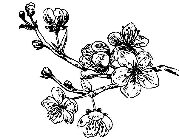 Desenho de Filial da cereja para Colorir