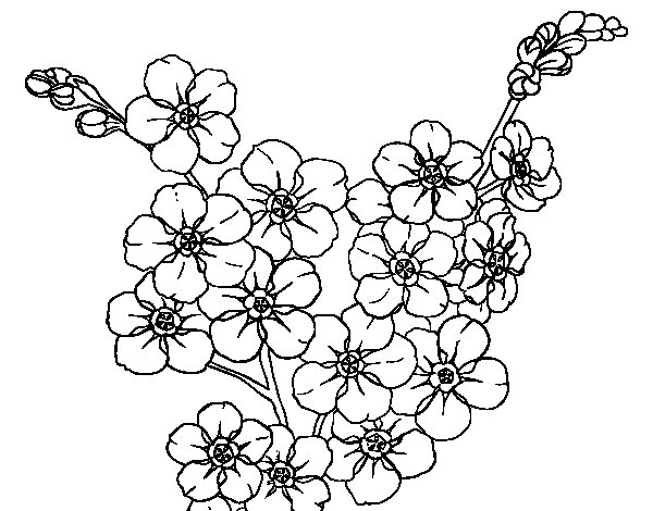 Desenho de Flor de cerejeira para Colorir