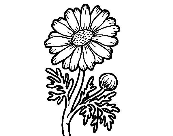 Desenho de Margarida selvagem para Colorir